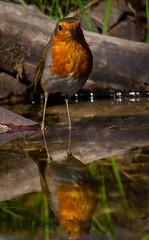 Robin-1 (ianrobertcole1971) Tags: bird garden bathing splash reflection passerine nikon d7200 300mm f4 pf ed robin