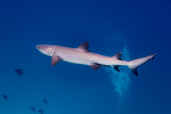 Whitetip Reef Shark (davee10101) Tags: 2018 fish kandholhu maldives northariatoll shark triaenodonobesus whitetipreefshark