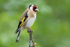Encore et toujours lui! (DorianHunt) Tags: birds bokeh switzerland may 2019 nikond500 sigma 150600mm goldfinch