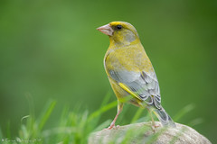 Sur ses gardes! (DorianHunt) Tags: birds bokeh switzerland may 2019 nikond500 sigma 150600mm greenfinch