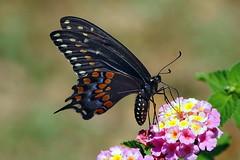 Black Swallowtail - female (Jim Atkins Sr) Tags: blackswallowtail blackswallowtailbutterfly papiliopolyxenes americanswallowtail parsnipswallowtail butterfly macro closeup olympuspenepm2 olympus fairfieldharbour northcarolina