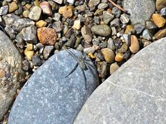 Spider Along Shoreline (fregettat) Tags: utah bearlake spider arachnid