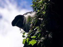 Black and white colobus, Kilimanjaro NP, Tanzania (Amdelsur) Tags: tanzanie guerezadukilimandjaro continentsetpays parcdukilimandjaro afrique abyssinianblackandwhitecolobus africa blackandwhitecolobus colobeguéréza colobusguereza kilimanjaronationalpark magistratecolobus tz tza tanzania kilimandjaro