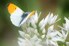 Orange-tip, Anthocharis cardamines (4) (Geckoo76) Tags: insect orangetip anthochariscardamines butterfly