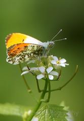 Orange-tip, Anthocharis cardamines (3) (Geckoo76) Tags: insect orangetip anthochariscardamines butterfly