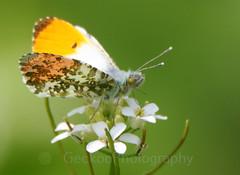 Orange-tip, Anthocharis cardamines (2) (Geckoo76) Tags: insect orangetip anthochariscardamines butterfly