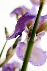 Iris flowers (Gigliola Spaziano) Tags: fiore iris natura lilla primavera explore