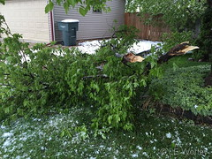 May 21, 2019 - Trees damaged by the snow. (LE Worley)
