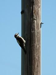 Downy Woodpecker (hopping_jay) Tags: birds birdfeeding birdfeeders oregon southernoregon feedingbirds birdphotography nature wildlife birdwatching woodpeckers downywoodpecker picidae