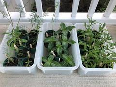 Seedlings (Foxy Belle) Tags: garden seedlings plants flowers herb vinca alyssum lavender dill annual seed start pots starting soil
