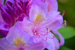 Rhododendron Bloom (helensaarinen) Tags: garden macro spring floral pink rhododendron