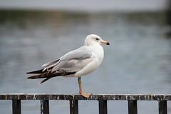 Ring-billed Gull (hopping_jay) Tags: birds birding birdwatching birdphotography klamathcounty oregon southernoregon gulls gull ringbilledgull larusdelawarensis laridae