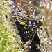 Hill Jezabel (Delias belladonna)