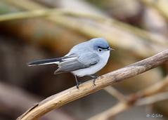 Blue Grey Gnatcatcher (Swift Wings) Tags: bird songbird gnatcatcher nature wildlife outdoors bluegreygnatcatcher polioptilacaerulea