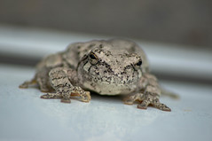 Grey Tree Frog (lmazing) Tags: animal sony alpha a580 frog treefrog macro