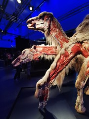 Animals Inside Out - Manitoba Museum of Man and Nature (TheSamuelYears) Tags: animalsinsideout touringexhibit animal animals museum winnipeg wpg canada manitobamuseumofmanandnature manitobamuseum manitoba indoors indoor huawei huaweip30pro exhibit camels camel