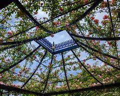 2019 Spring roses (shinichiro*) Tags: 20190515dsc6058 2019 crazyshin nikonz6 sigma1770mmf284dcmacrohsm ftz may spring flower yeg 横浜イングリッシュガーデン パーゴラ バラ