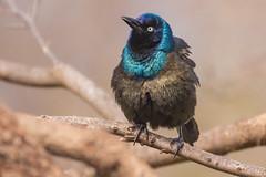 Common Grackle (Lynn Tweedie) Tags: wood bokeh beak tail wing commongrackle canon ngc animal blue 7dmarkii missouri bird eye tree eos feathers sigma150600mmf563dgoshsm branch