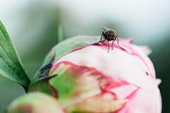 peony-8823 (kezoo) Tags: 2018 flower macro fly bug peony