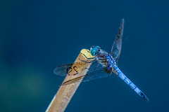 Dragonfly #29 (Probably, a Blue Dasher) (agasfer) Tags: 2019 southcarolina greenville furman swanlake sony a6000 sonye456355210oss bugs insects