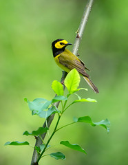 Hooded Warbler (nikunj.m.patel) Tags: warbler hoodedwarbler bird nature wild spring migration nikon naturephotography
