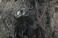 (sgtsalamander) Tags: nikon d500 nikkor 300f28 bird pointpeleenationalpark migration magnoliawarbler setophagamagnolia