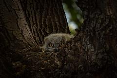 Baby Owl (M@ H) Tags: owl animals babyowl nest birdsofpray bird wildlife wildanimals nature wildamimals arizonahighways arizona predator