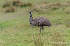 Wild Emu- Te Kao, Far North (flyingkiwigirl) Tags: anglican aupouripeninsula bandedrail bird camp capereinga church doc emu farnorth fernbird kaitaia maori ratana reefheron stjosephs tapotupotubay tekao tepaki walk