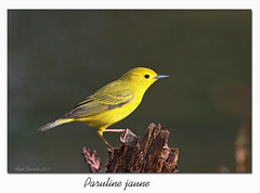 Paruline jaune / Yellow Warbler 153A4553 (salmo52) Tags: oiseaux birds salmo52 alaincharette parulinejaune yellowwarbler paruline parulidae parulidés passériformes danville étangburbamk setophagapetechia mangrovewarbler