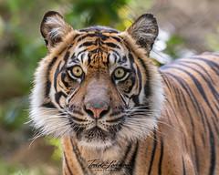 Joanne (ToddLahman) Tags: joanne sandiegozoosafaripark safaripark sumatrantiger tiger tigers tigertrail exhibitb closeup beautiful portrait photooftheday profileheadshot photography photographer mammal outdoors nikond500 nikonphotography nikon