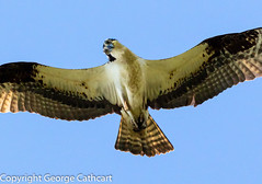 what have we here? (fins'n'feathers) Tags: bird flying inflight upintheair wings osprey raptor birdofprey eyeingprey wildlife animal