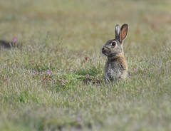 1780-1sm (torriejonvik) Tags: rabbit grass green hole exiting