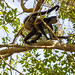 Spider Monkey giving a ride to young monkey, Sandos Caracol Eco Resort, Mexico