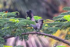 TURACO (Ezio Donati is ) Tags: uccelli birds animali animals nature alberi trees forest foresta westafrica codtsdavorio abidjan areadesnnlagunes