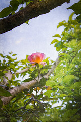 A Rose between Two Boughs (judy dean) Tags: judydean 2019 garden lensbaby texture ps rose climbing apple tree leaves boughs
