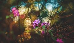 Garden bokeh (Dhina A) Tags: sony a7rii ilce7rm2 a7r2 a7r pentacon av 80mm f28 pentaconav80mmf28 bokeh circle bubble projector projection lens trioplan diaplan manualfocus garden flower