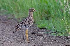 Oedicnèmé tachard Spotted thick-knee (Le Méhauté Sébastien) Tags: south africa afrique du sud kruger wildlife nature sauvage bird oiseau