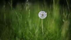 soft -> softer -> dandelion - weich -> weicher -> Löwenzahn (ralfkai41) Tags: grass soft nature blüte blume outdoor löwenzahn dandelion natur garden weich gras garten meadow flower wiese blossom softness