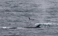 Fin Whale swimming on surface with seabirds flying around it (Paul Cottis) Tags: scotiasea southernocean sea paulcottis 30 january 2019 jan seabird fin whale cetacean marine mammal swim swimming float