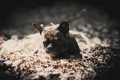 (Dionysos_Lichtenhauos) Tags: sony sonya7m3 sonya7iii sonysel85f14gm sonygmaster sonyflickraward dog sonyflickrawardgold bulldog bully frenchbulldog frenchie