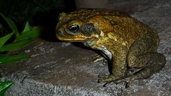 Return of the toad (thomasgorman1) Tags: amphibian toad night flash fujifilm animal wildlife dark