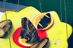 at the lepidopterarium (viktor.rpprt) Tags: film filmphotography filmisalive thefilmcommunity thefilmgang kodakfilm shootfilm shotonfilm grain ishootfilm filmisnotdead vintagecamera kodak ultramax iso400 canona1 canon canonfd 35mm szeged füvészkert botanicgarden butterfly lepidoptera colour analog nature