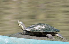 Catching Rays (iansand) Tags: homebushbay turtle chilling