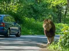 XT2F4629 (James Ito) Tags: animal england longleat longleatsafaripark places lion warminster unitedkingdom