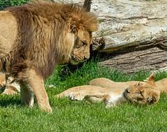 XT2F4557 (James Ito) Tags: animal england longleat longleatsafaripark places lion warminster unitedkingdom