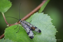 Scorpion Fly (JJB Images) Tags: amazingnature amazing beautiful canon canoneos6d countryside closeup detail detailed delicate england focus fuji interesting image iso jjbimages lumix lovelylight minolta macro nikon nature natural picturesque panasonic rspb tamron vibrant wiltshire woodlands wildlife xl zoom zoomed