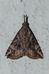 Makunda Insects-7530 (Vijay Anand Ismavel) Tags: makundamoths nikond800 hypeninae