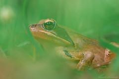 Rainette (Hexilene) Tags: nikon nature nikonpassion nikond750 sigma sigma105mm macro macrophotographie