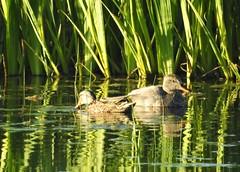 Pair of Gadwall Ducks - Whitley Bay (Gilli8888) Tags: nikon p900 coolpix tyneandwear whitleybay wetlands stmaryswetlands nature stmarysisland birds waterbirds ducks gadwall gadwallducks pair two green reeds pond water drake