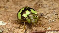 Leaf Beetle, Platyphora sp., Chrysomelidae (Ecuador Megadiverso) Tags: andreaskay beetle chrysomelidae coleoptera ecuador id596 platyphorasp